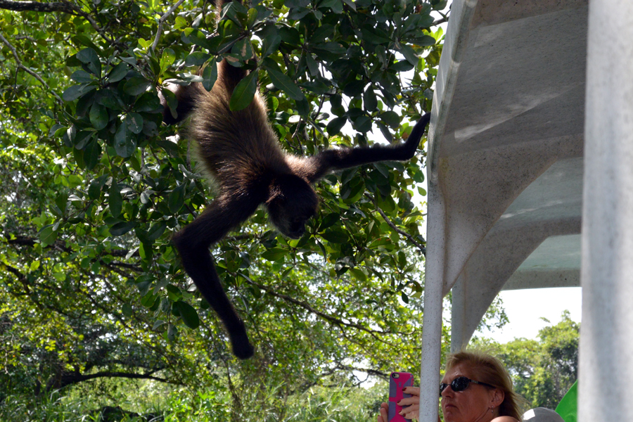 Spider monkey to Lamanai, Belize
