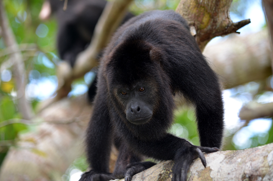 howler monkeys baboon sanctuary belize in the wild excursion